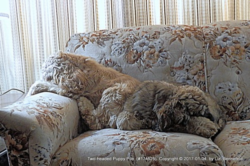 two cocker spaniels napping, head to tail, on the living room loveseat