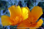 Hoverfly on the California Poppies