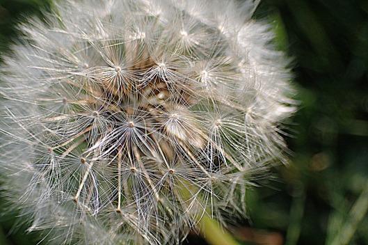 "close-up of a dandelion seed head, aka a ""clock"""