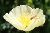 Poppy & Hoverfly