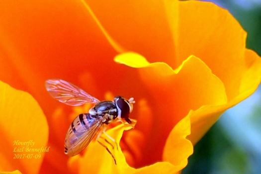 Hoverfly & Poppy
