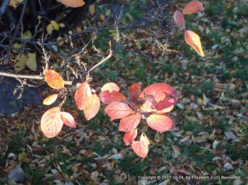 cotoneaster leaves