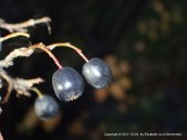 cotoneaster fruit