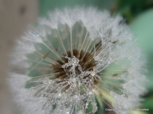 heavy frost melting off of a dandelion clock