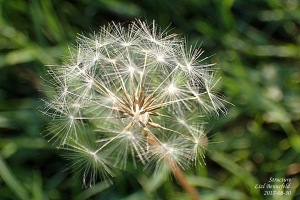 dandelion clock without icy dew