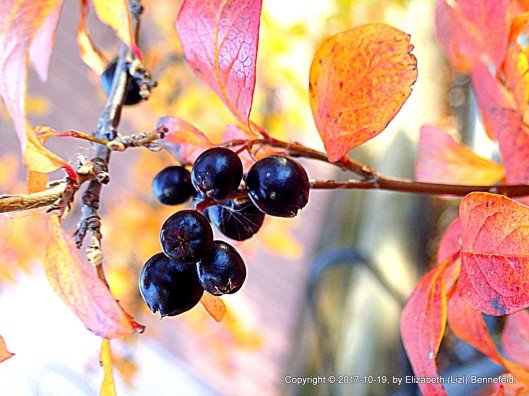Cotoneaster fruit and leaves with fall colors