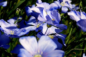 blue wild flax flowers, natural color