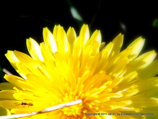 blooming dandelion in full sun with tiny winged ant