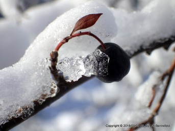 cotoneaster fruit, ice and snow