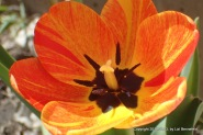 Tulip, Newly Opened
