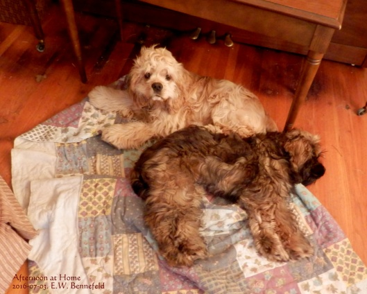 two cocker spaniel puppies on their quilt in front of the piano