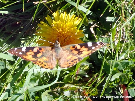 Painted Lady in the Back Yard