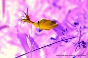 Blue Wild Flax #0945