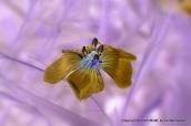 Blue Wild Flax #0948