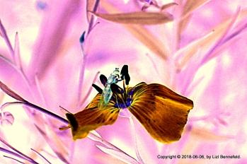 Blue Wild Flax #0949