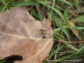 Bottle fly on a fallen cottonwood leaf