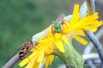 Sweat Bee and Hoverfly