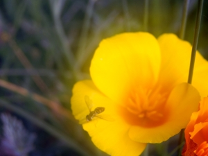 yellow california poppy in garden's mist with a flower fly leaving its petals